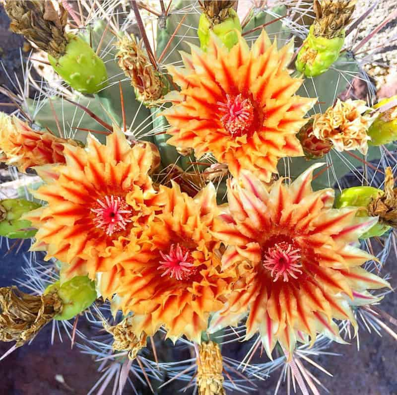 Cactus in bloom at the Moorten Botanical Garden in Palm Springs, California