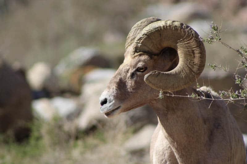 Desert bighorn sheep in Southern California