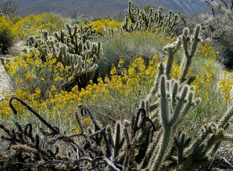 Desert flora at Anza-Borrego State Park in California