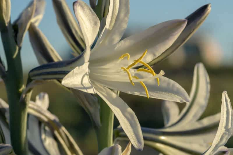 Desert lily in bloom at Anza-Borrego Desert State park in SoCal.
