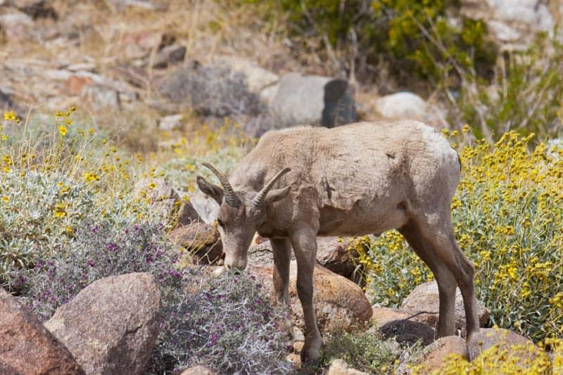 Desert sheep at Anza Borrego Desert State Park in California
