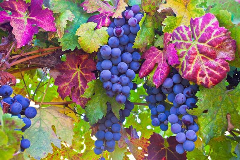 Grapes in Napa Valley California