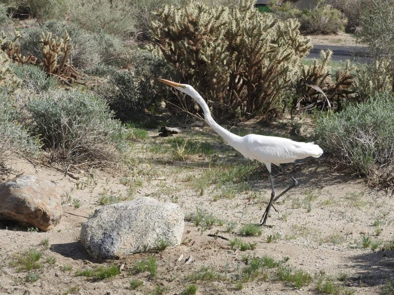 Great Egret at Anza-Borrego Desert State Park in California