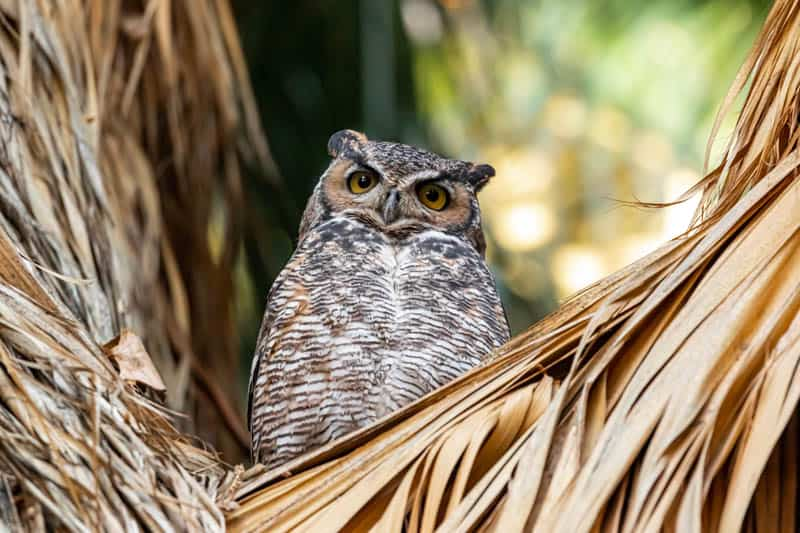 Great horned owl in a palm tree