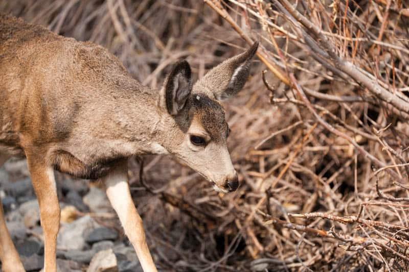 Mule Deer in June Lake California