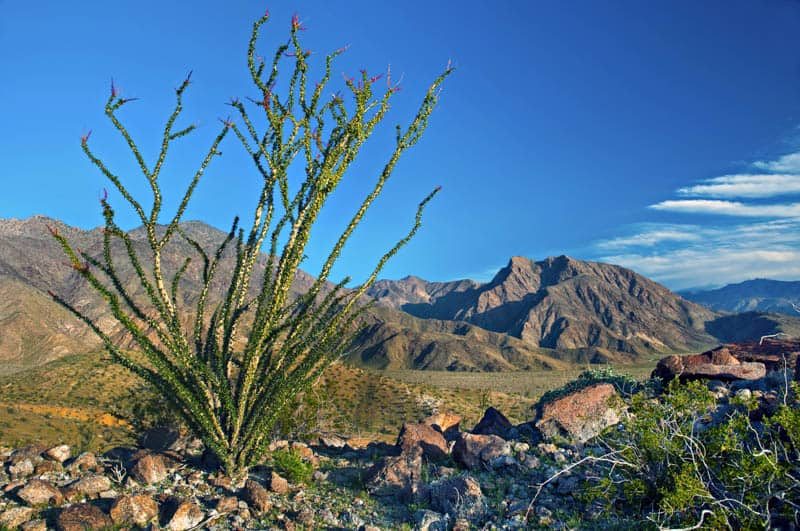 The ocotillo looks like a natural sculpture!