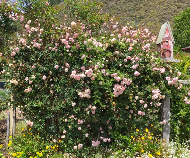 Old rose in bloom at Earthbound Farms Farm Stand in Carmel Valley California