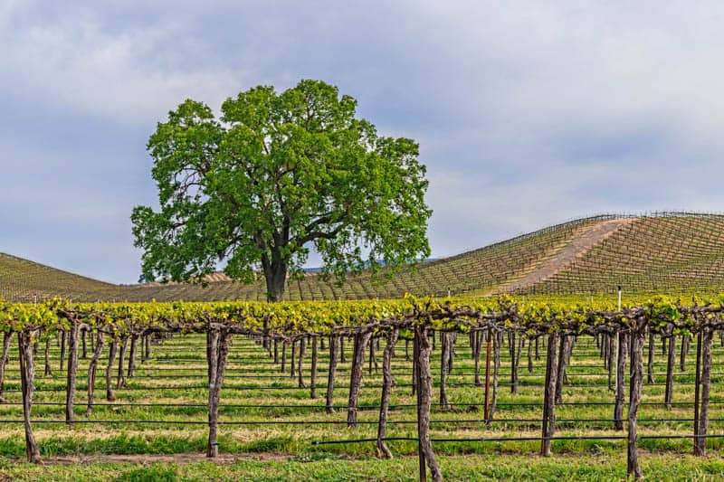 Vineyard in oak-studded Paso Robles California