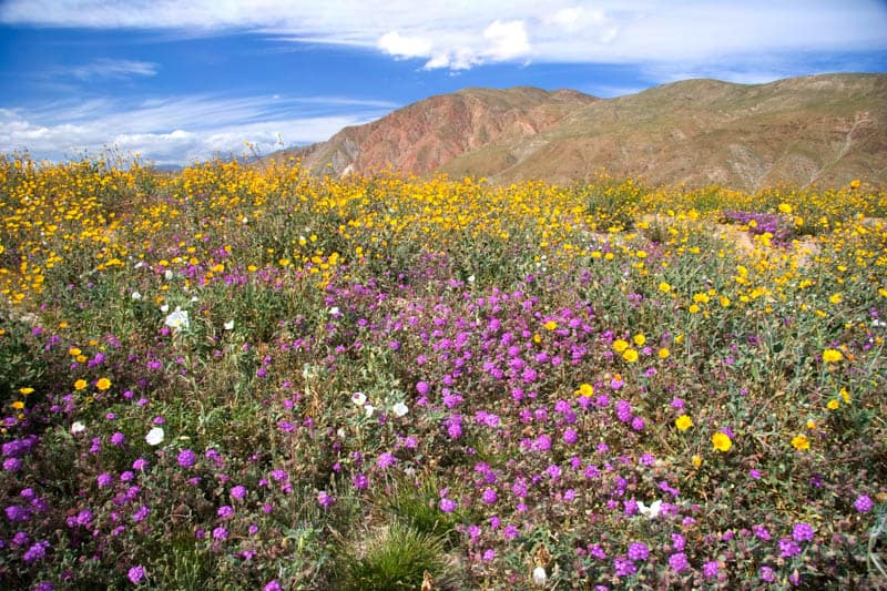 Wildflower bloom at Anza-Borrego State Park in California
