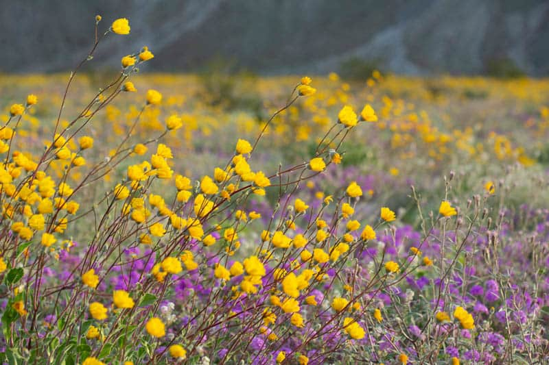 Wildflowers at Anza-Borrego SP California