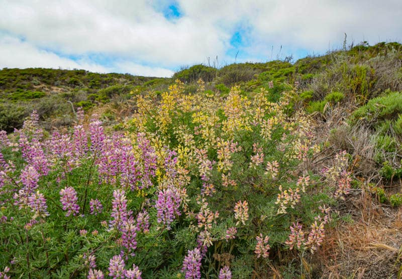 Bush lupine in bloom in Point Lobos State Park, California, in the spring