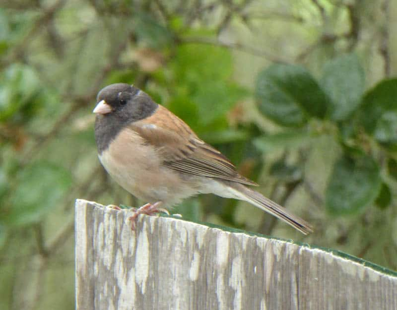 A dark-eyed junco sits on a post at Point Lobos State Reserve in Carmel, California