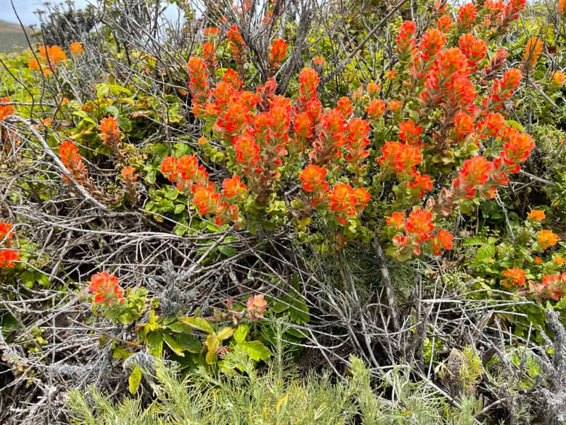 Indian P:aintbrush in bloom in Garrapata SP in the spring