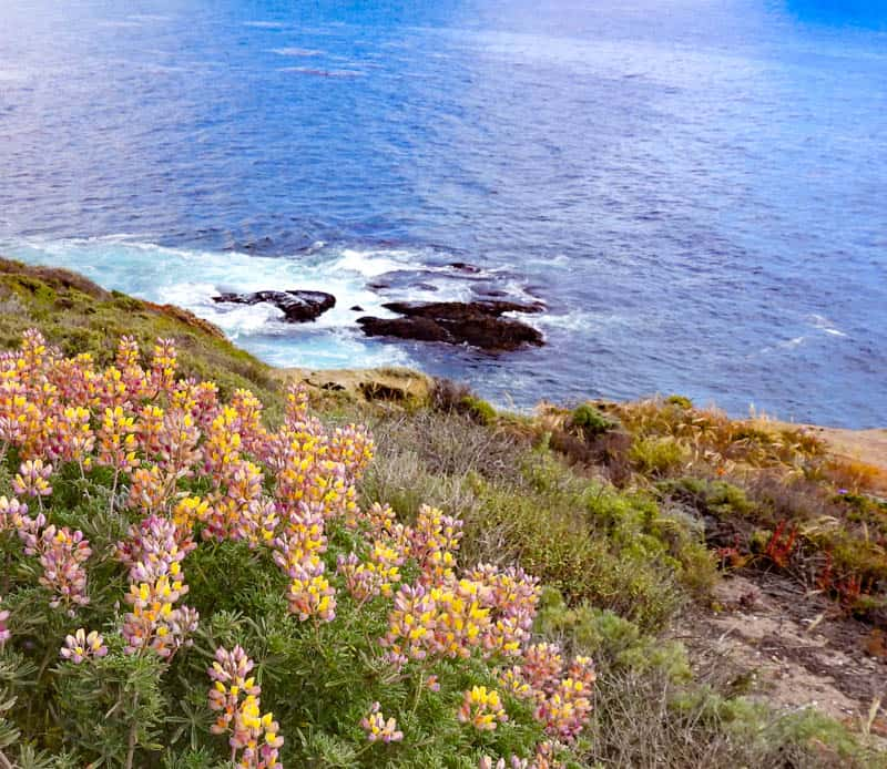 Bush lupine in bloom along Sea Lion Point Trail in Point Lobos State Reserve, Big Sur, California