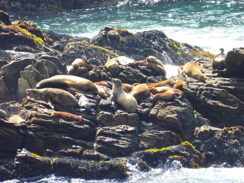 Sea lions on the Sea Lion Rocks in Point Lobos, California