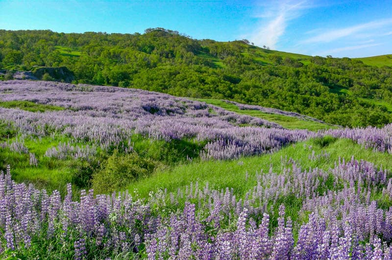 Fields of purple lupine along Bald Hills Road in early summer