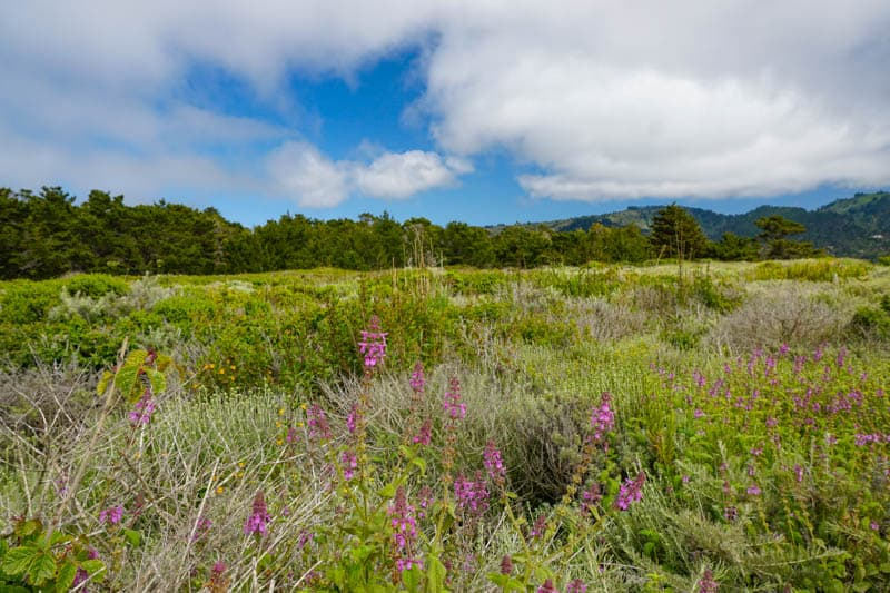 Wildflowers along the Sea Lion and Sand Hill Loop in Point Lobos in May