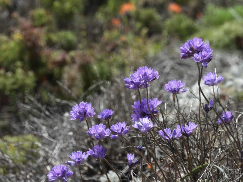 Wildflowers on the cliffs at Sea Lion Point in Point Lobos, California