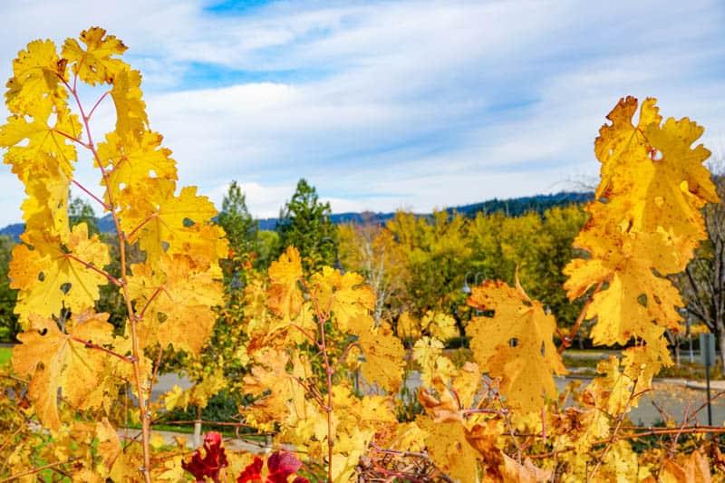 Beringer Winery in Saint Helena Napa Valley California