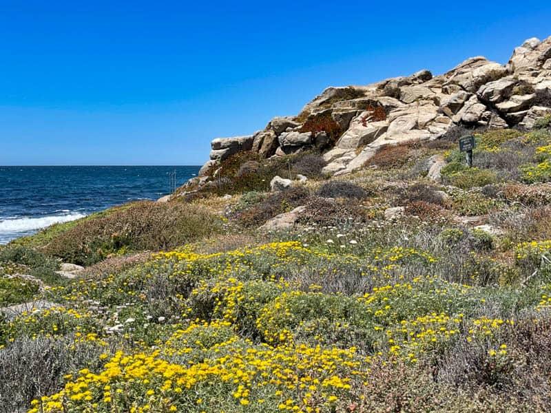 Wildflowers at China Rock in Pebble Beach, California, in June
