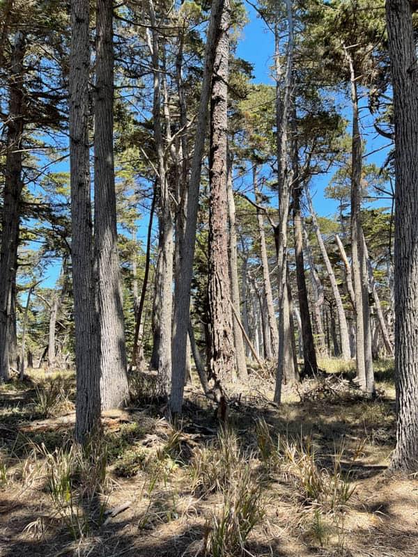Monterey cypresses in Crocker Grove, Pebble Beach, California