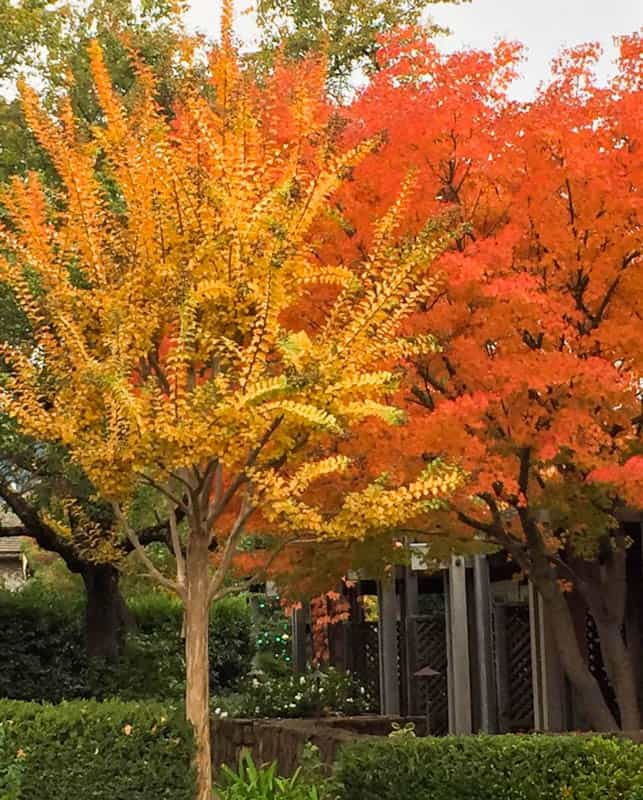 Fall colors in downtown Yountville in Napa Valley California