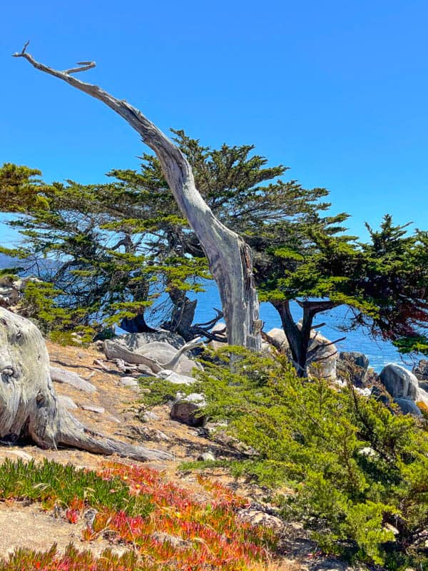 A ghost tree at Pescadero Point along 17-Mile Drive In California