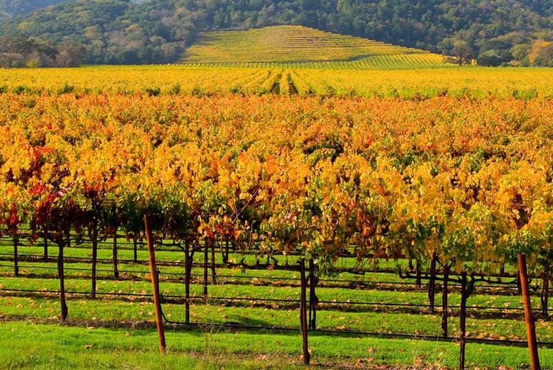 Napa Valley vineyard in fall
