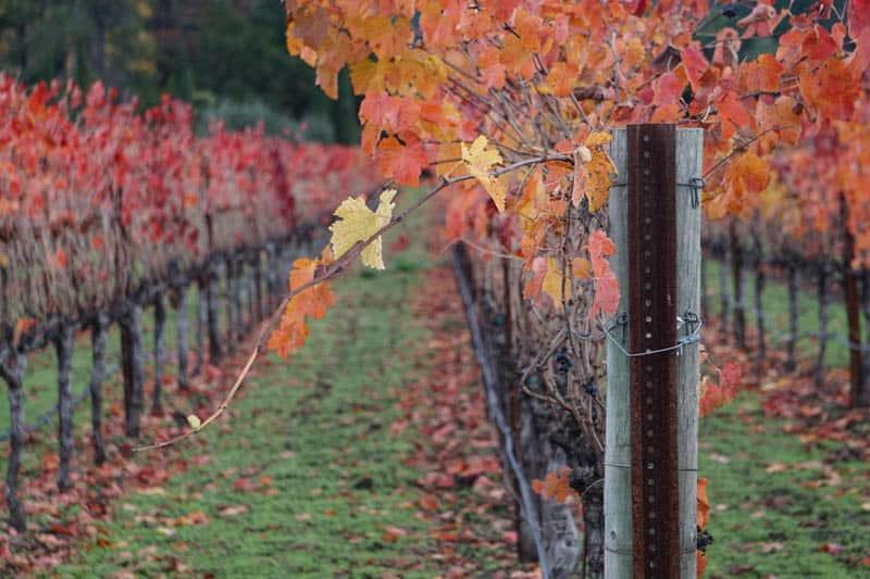 Vineyard in Yountville, Napa Valley, California