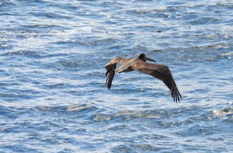 A sea bird in flight at Point Lobos near Carmel California