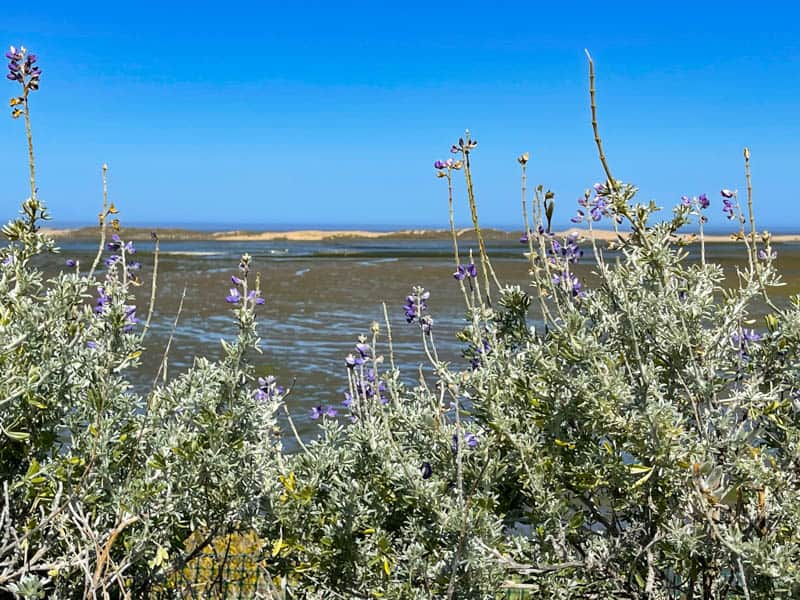 Lupine Point on the Elfin Forest Trail in Los Osos CA