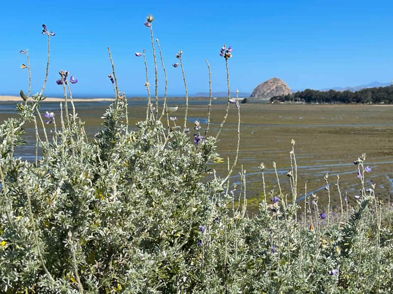The Lupine Viewpoint at the Los Osos Elfin Forest offers views of Morro Rock and Morro Bay