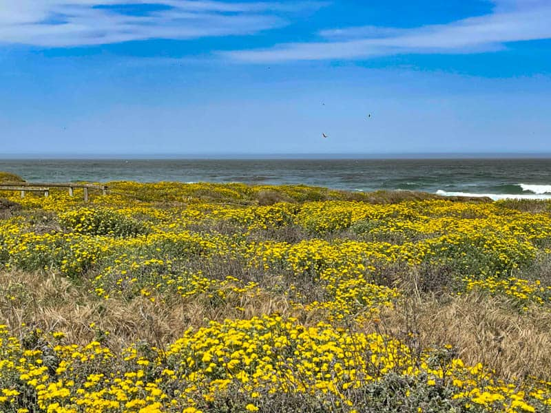 Wildflowers bloom at Montana de Oro State Park in Los Osos California