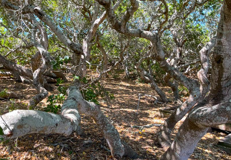 Looking at the live oaks in the oak grove at the Elfin Forest in Los Osos, CA