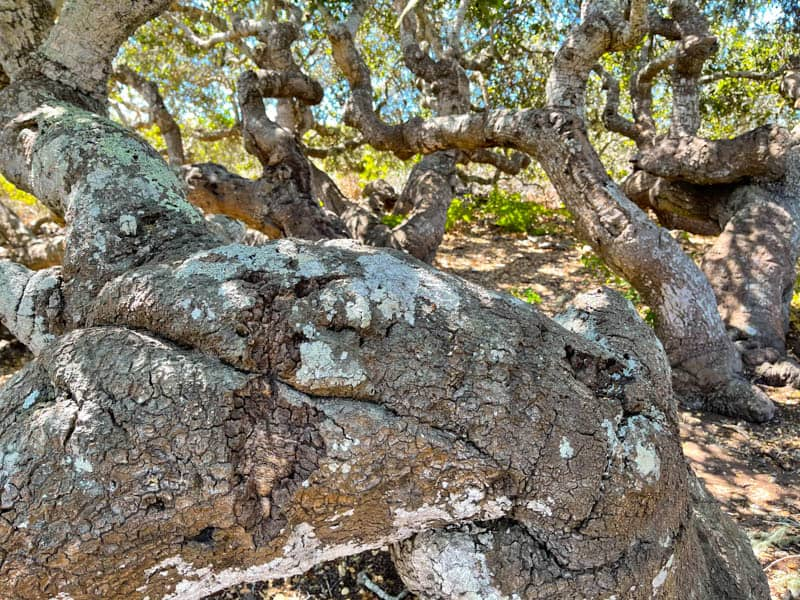 Oaks at the Elfin Forest in Los Osos California