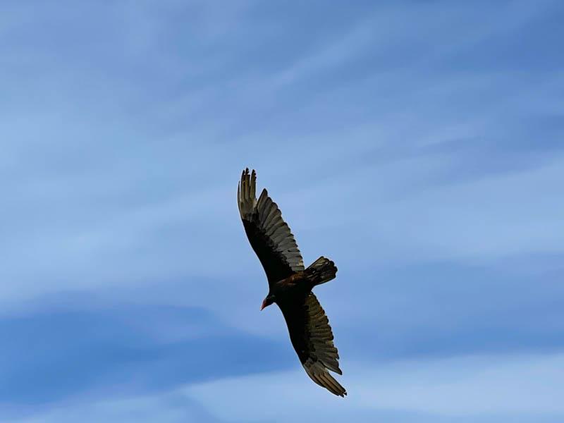 A raptor at Montana de Oro State Park near Los Osos California
