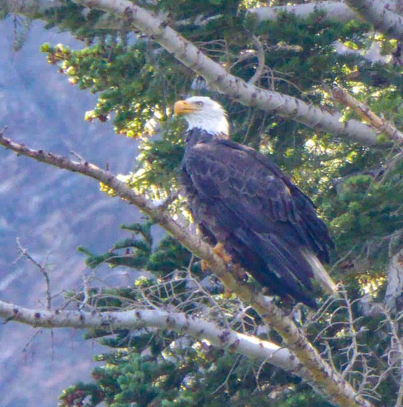 Bald Eagle at Convict Lake
