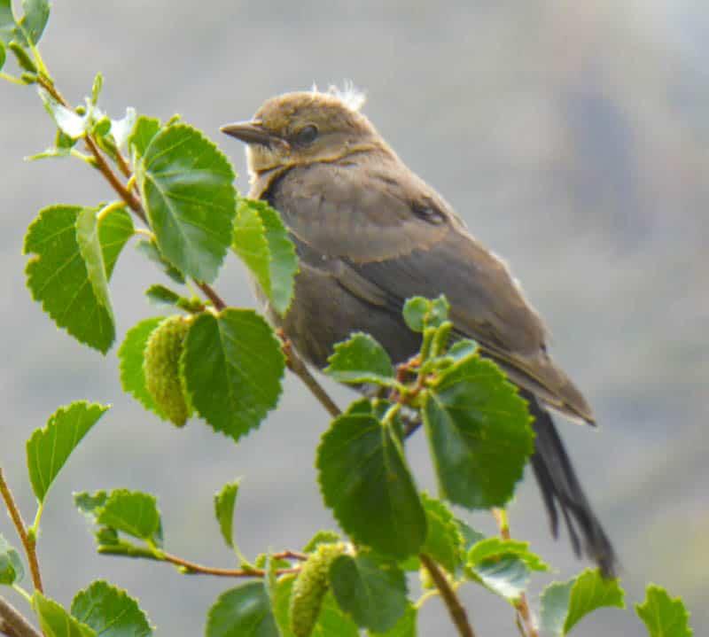 A juvenile Brewer's blackbird at Convict Lake in California