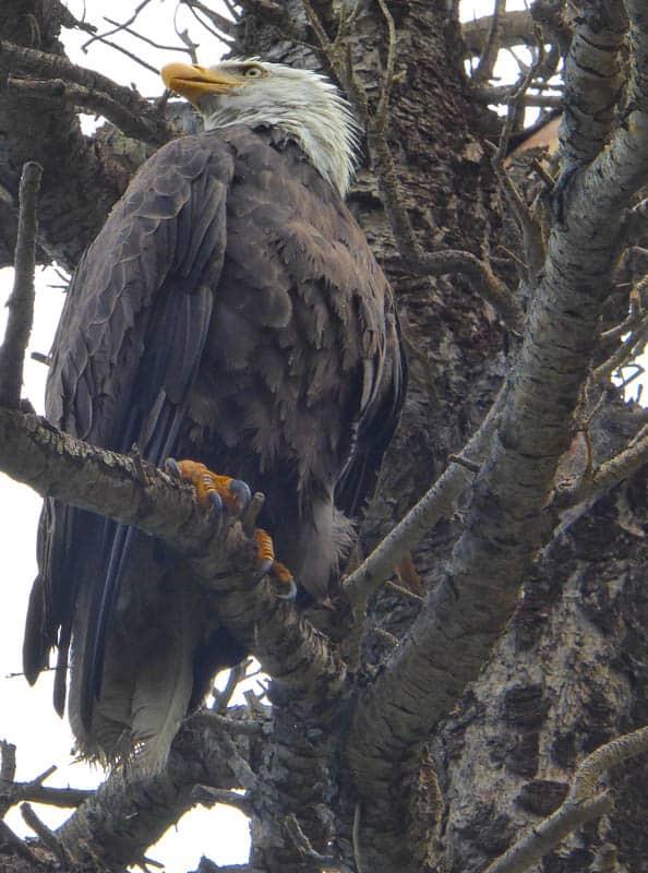 Bald Eagle at Convict Lake California