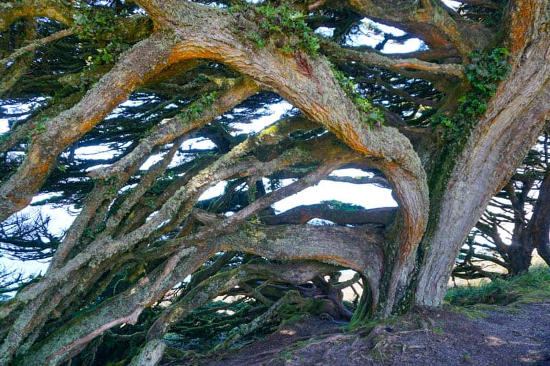 Sculptural trunks of Monterey cypress trees in Point Reyes, California