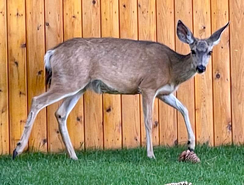A mule deer at Convict Lake