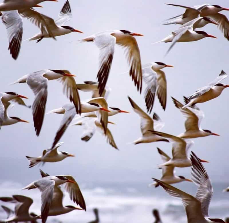 Terns at Zmudowski Beach in Moss Landing, California