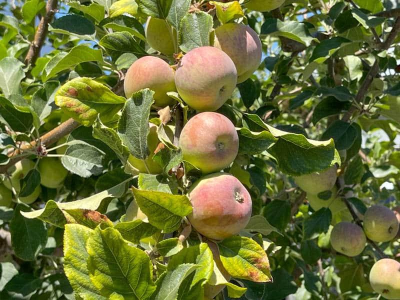 An apple tree in the Barlow in Sebastopol, CA