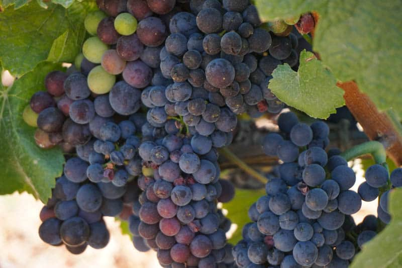 Plump clusters of grapes in a Sonoma Valley vineyard