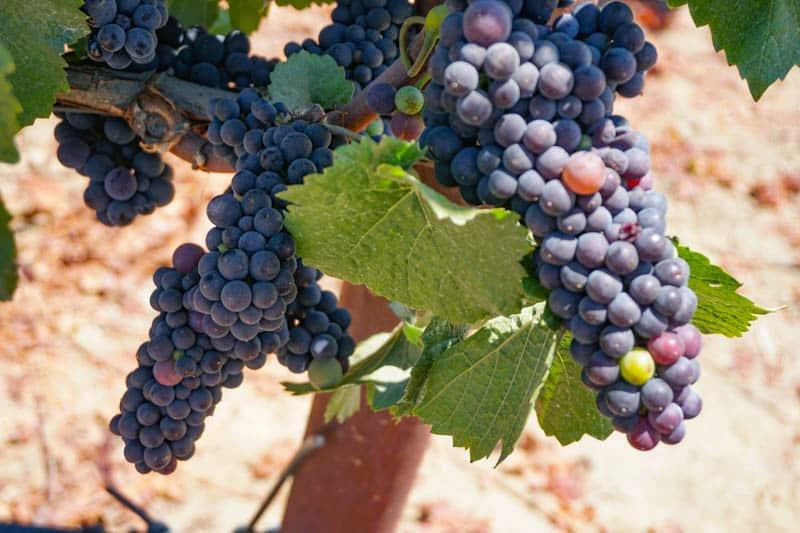 Grapes hang from a vine at a vineyard near Sebastopol, CA