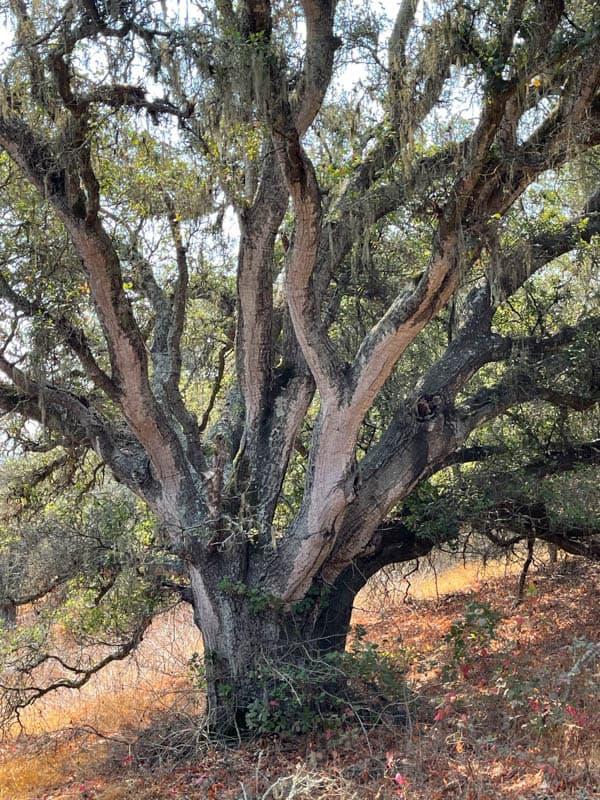 Sculptural oak in Helen Putnam Regional Park in Petaluma, CA