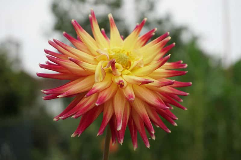 a dahlia in bloom at the Luther Burbank Home and Gardens in Santa Rosa California