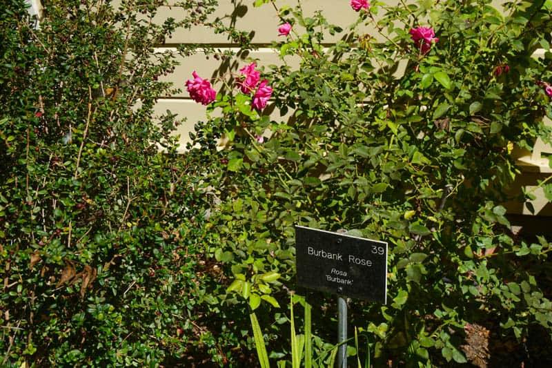 Luther Burbank Rose in Sebastopol, C A