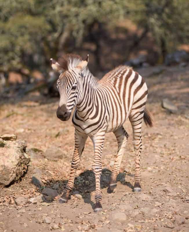 Baby zebra at Safari West in Santa Rosa, California
