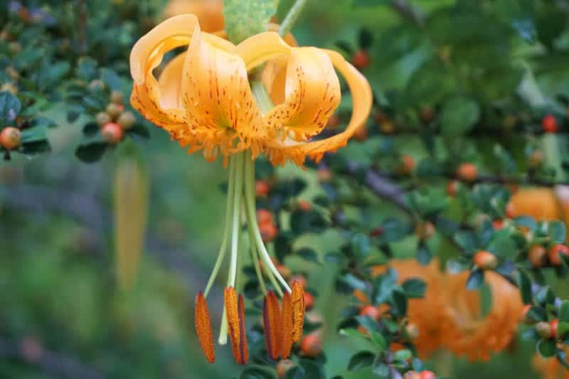 A tiger lily at the botanical garden in Sonoma County CA